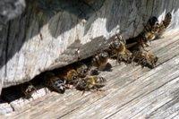 Пчелиный летки
